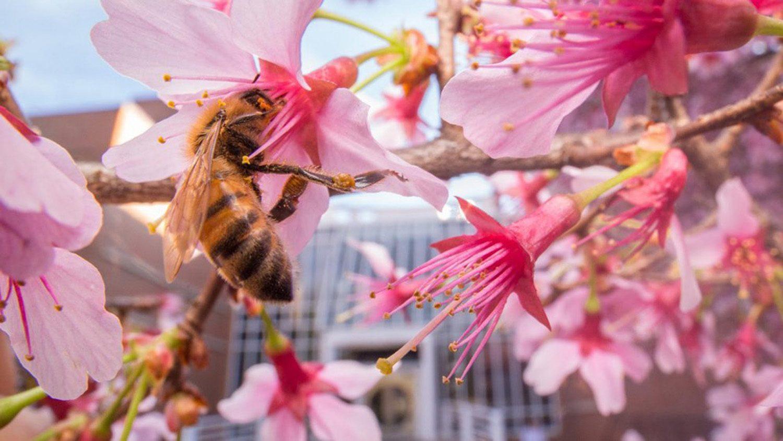 Azalea flowers with bee