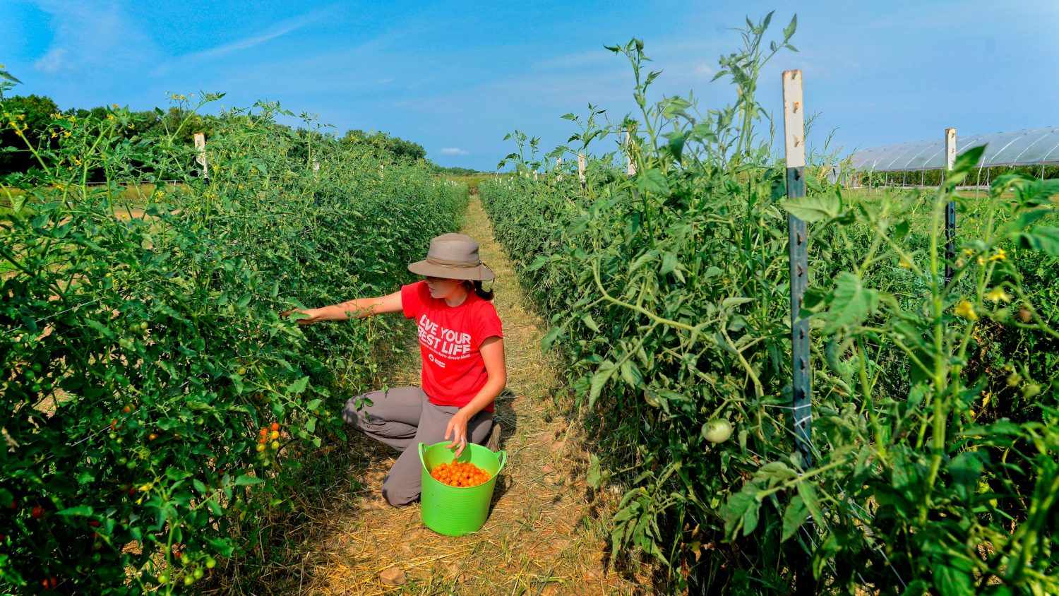 student picking tomatoes
