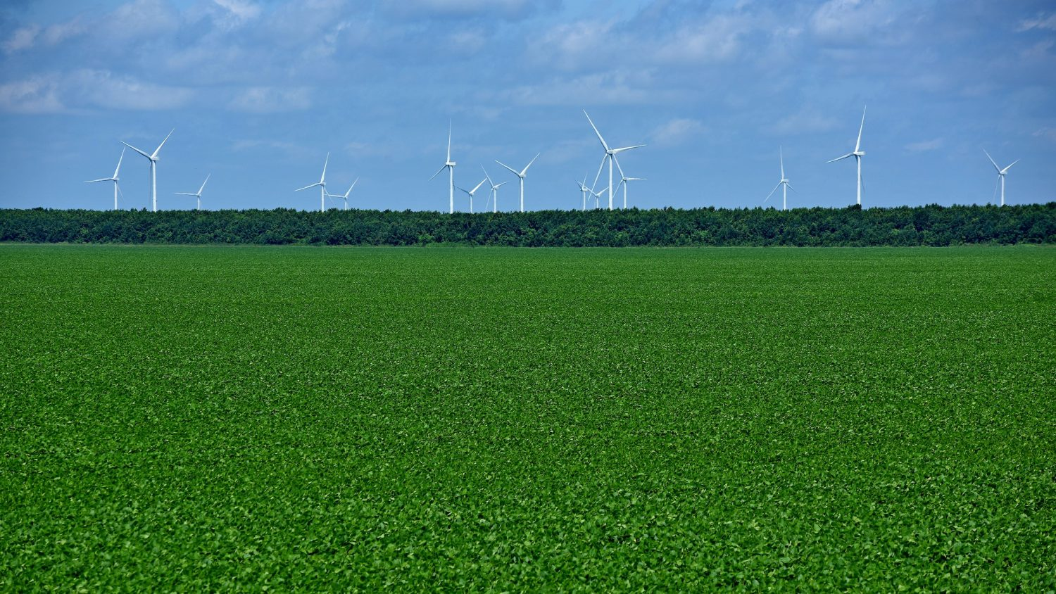 Energy-producing windmills rise up behind soy bean fields, harnessing electrical power from Pasquotank County wind.