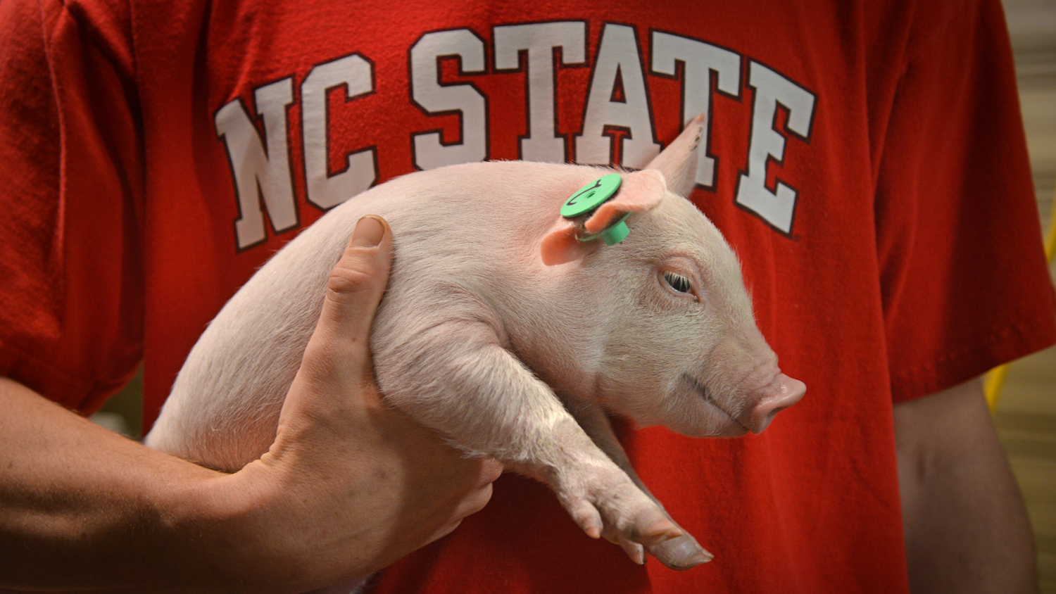 Closeup of piglet held by NCState student