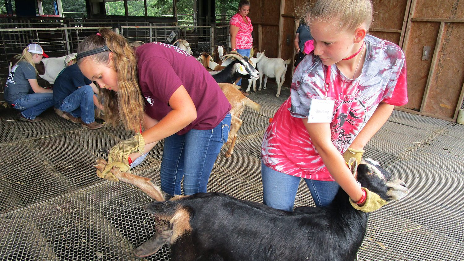 Kids work with goats