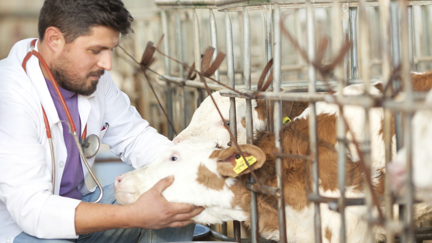Food animal vet checking on calves on farm