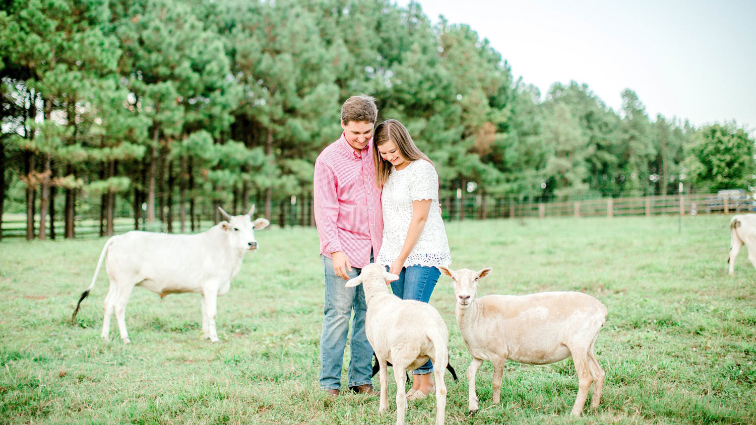 A young couple on a farm with a miniature cow and sheep.