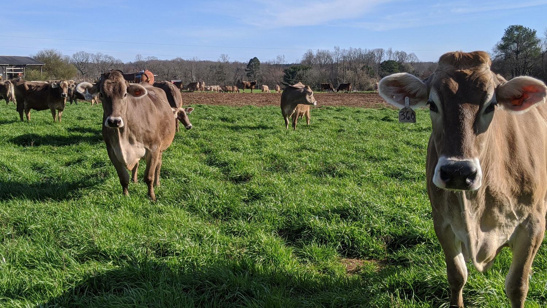 Brown Swiss herd dairy cows in a field