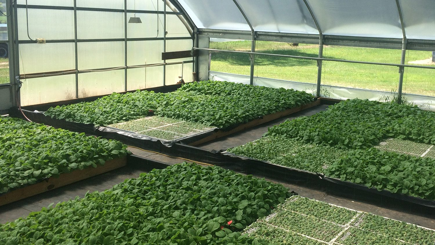 Tobacco seedlings in a greenhouse