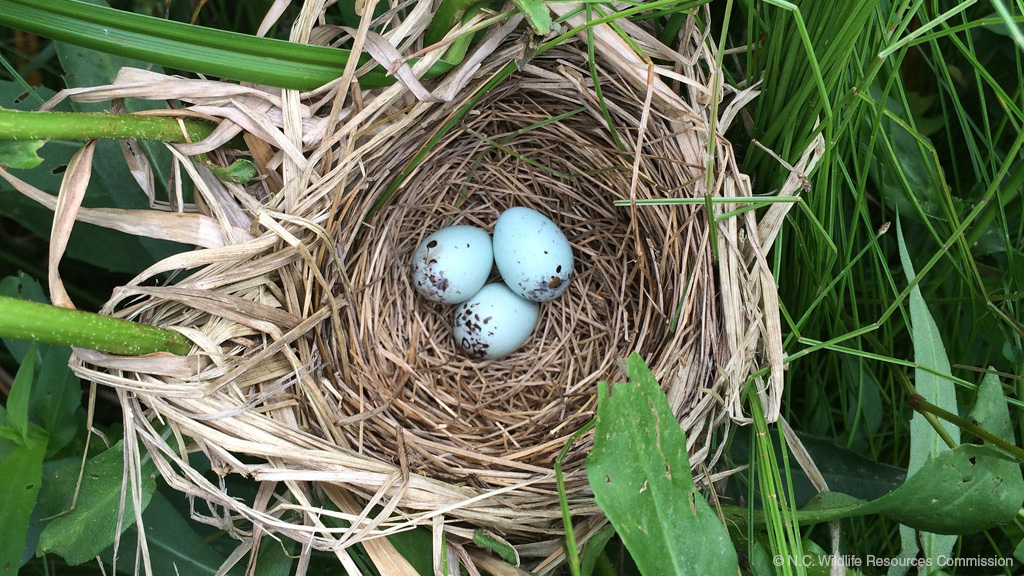 redwing blackbird nest ncwrc