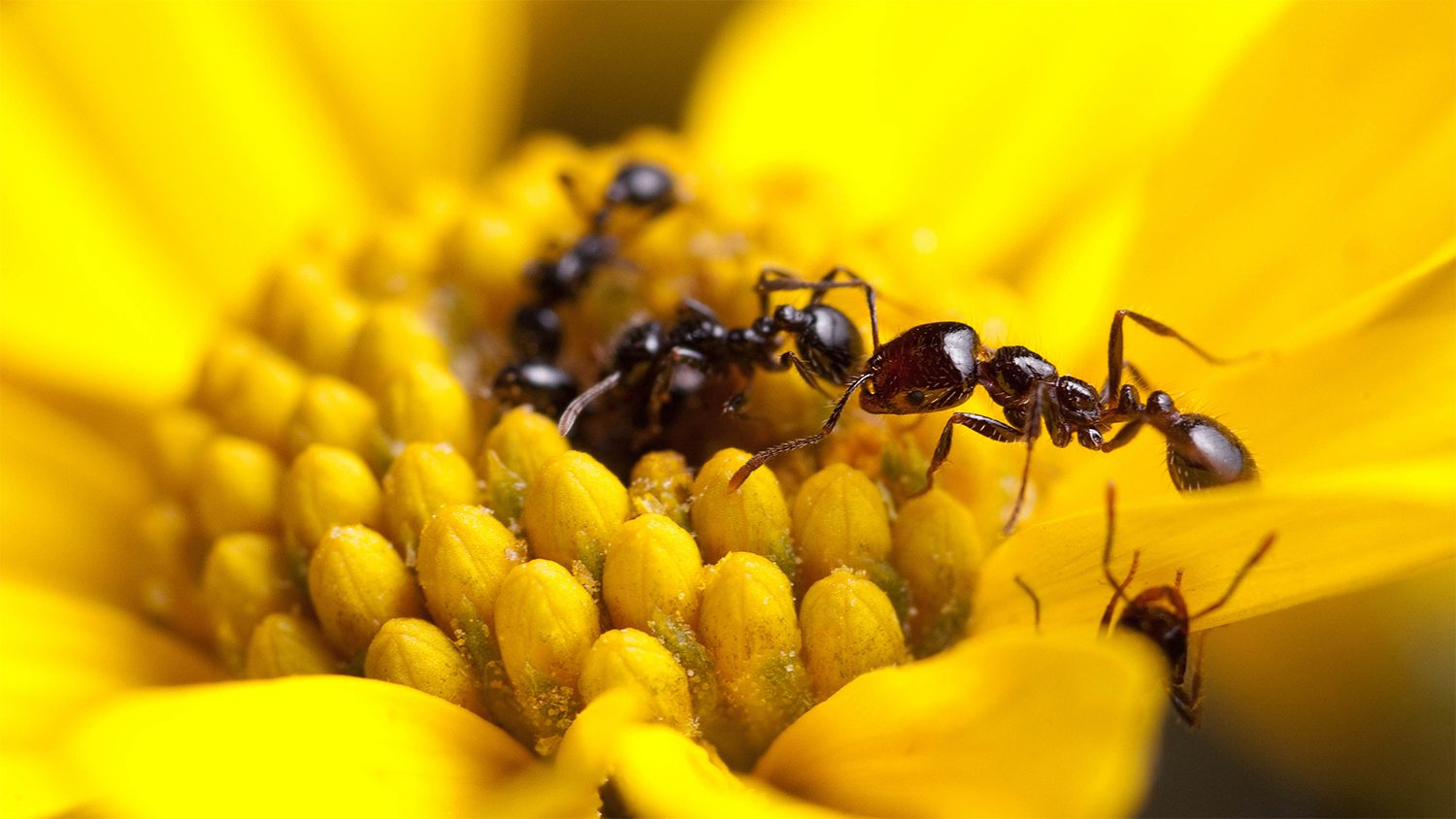 Photo of ants climbing on a yellow flower.