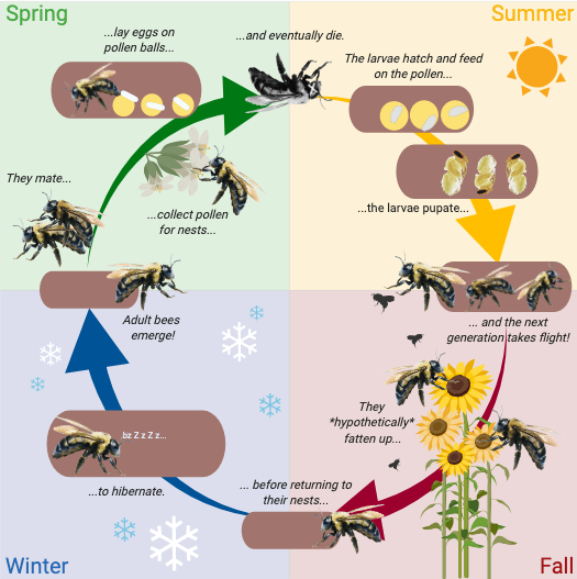 Carpenter bee life cycle