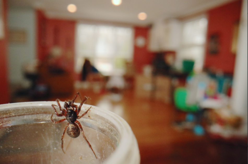 A Boreal Combfoot spider, Steatoda borealis