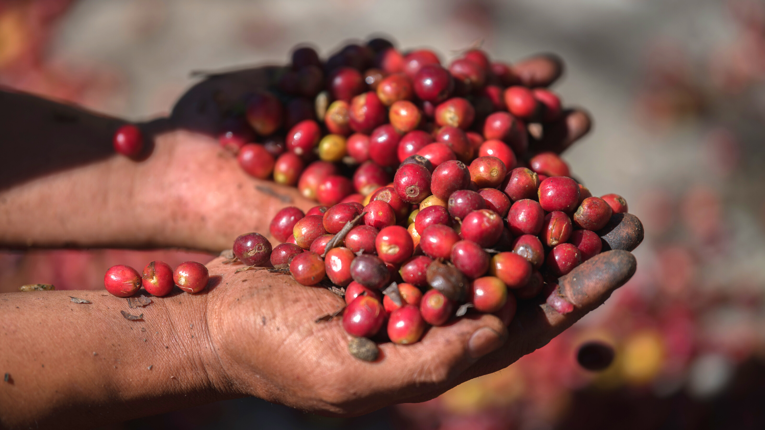 Coffee beans held in farmer's hands