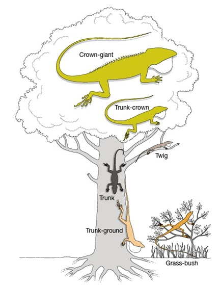 From Losos (2009). Lizards in an Evolutionary Tree. In this figure, five morphs of Anolis lizards, each of which has evolved repeatedly in the Carribean, are shown.