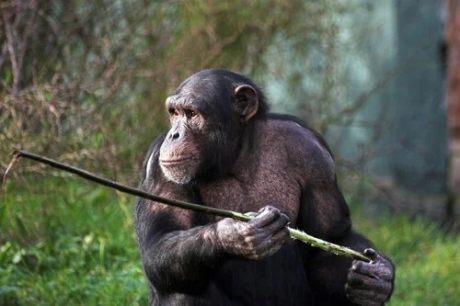 Savanna chimpanzee of Fongoli working a spear tip which will be used to spear a sleeping bushbaby. The chimpanzees of Fongoli live in the most open savanna occupied by extant chimpanzees.