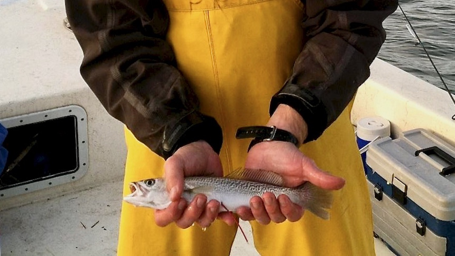 Weakfish caught as part of fisheries research.
