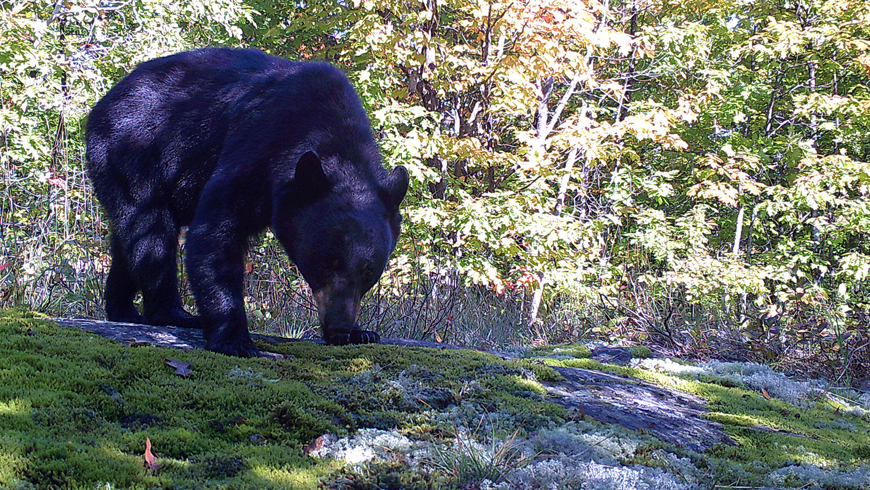 Black bear image provided by Diana Lafferty.