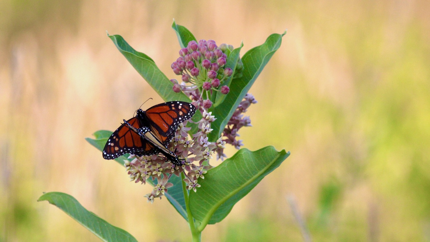 Monarch butterflies on a milkweed plant