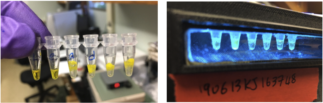 Image, left, of water added to the biosensor in the test tube. Image, right, of the indicator that glows green when detecting water contaminants that exceed EPA standards. Images from Northwestern University.