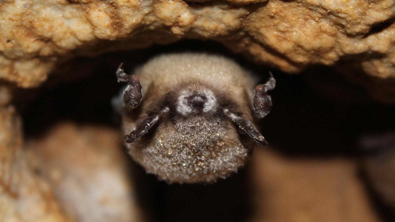 Little brown bats Photo courtesy of Joseph Hoyt, Virginia Tech.