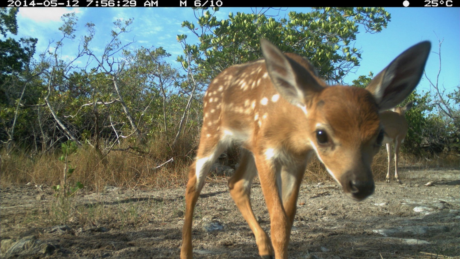 Camera trap image of a fawn Key deer courtesy of Mike Cove.