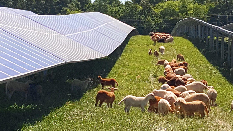 Sheep graze between rows of solar panels.