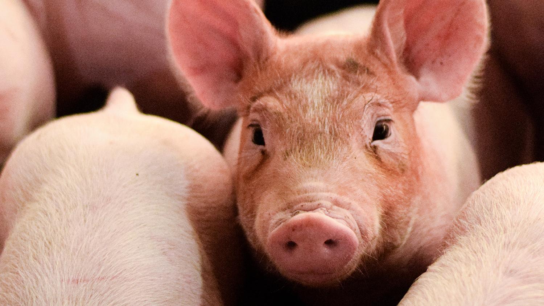 Piglets inside a barn