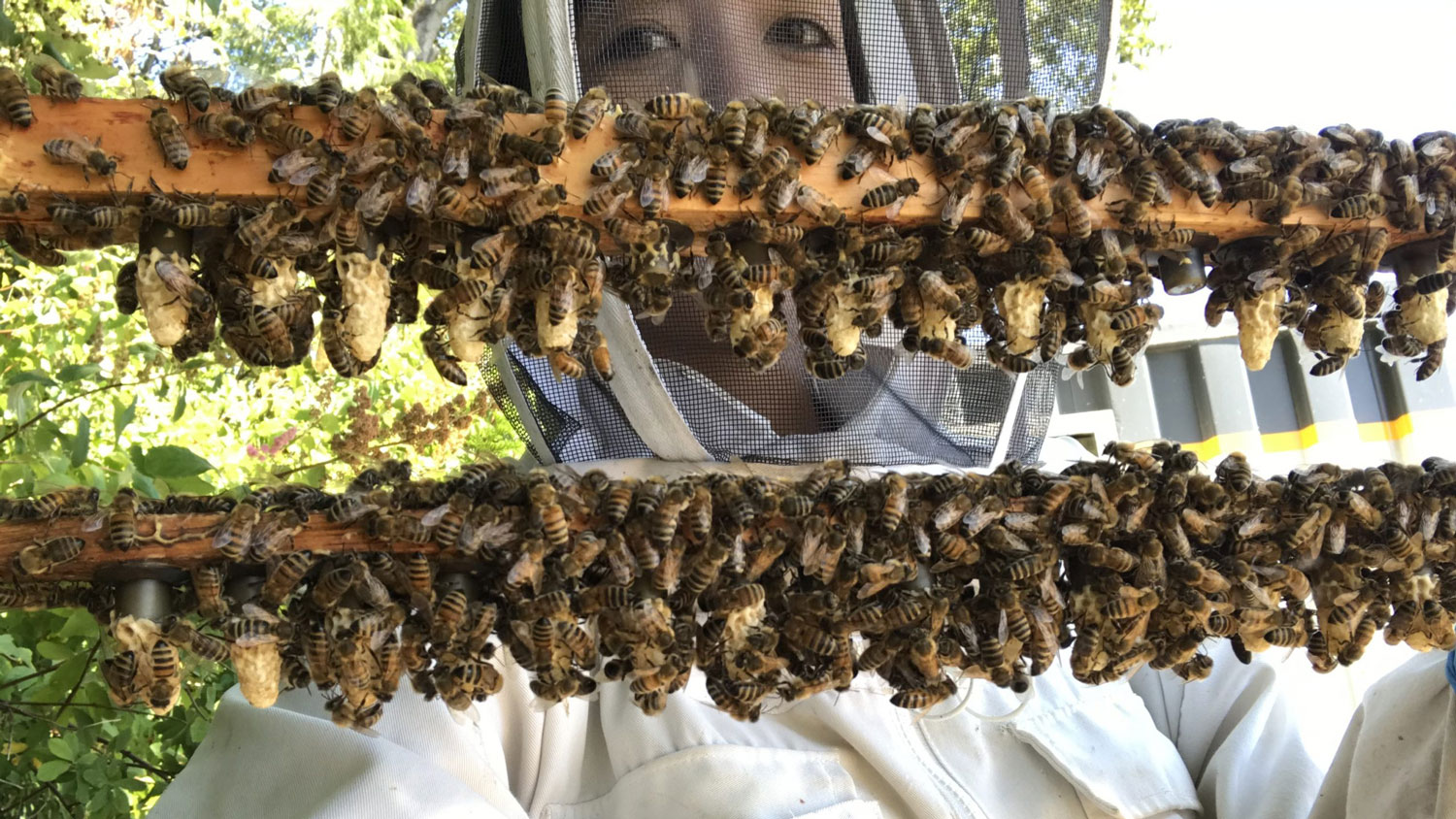 Beekeeper holds up boards covered with bees