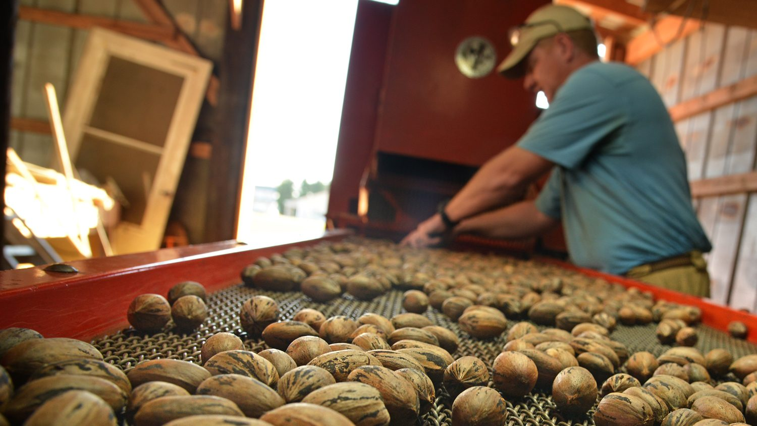 Harvested pecans on proctuction line