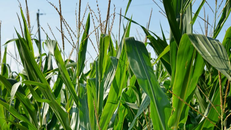 Closeup of corn stalks in field