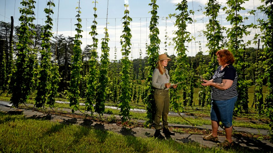 Hops production at NC State field research lab