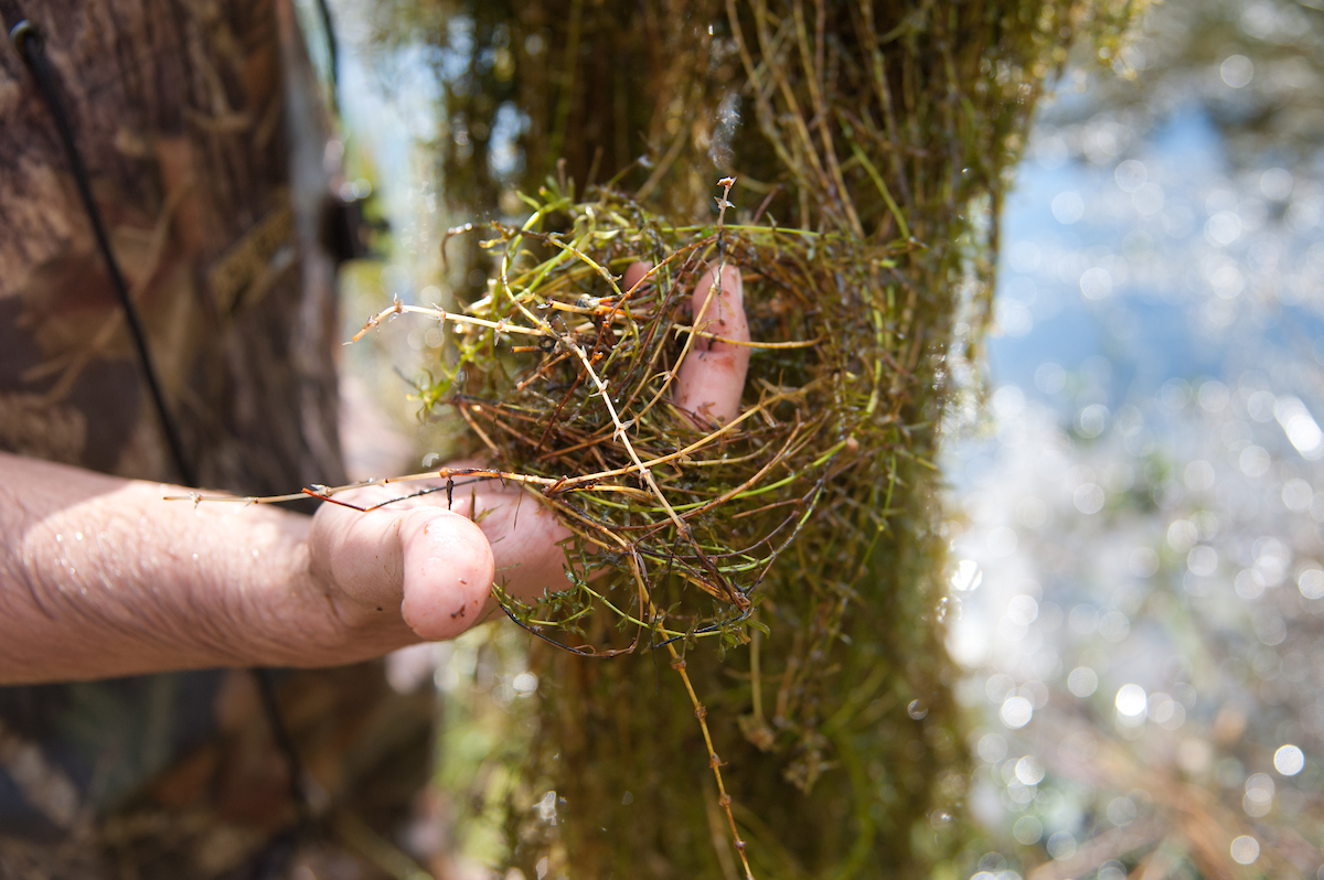 Hydrilla is an invasive pond weeds affecting farm irrigation and wildlife