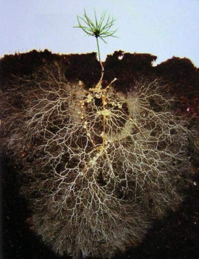 Mycorrhizal fungi expand pine seedling root zone