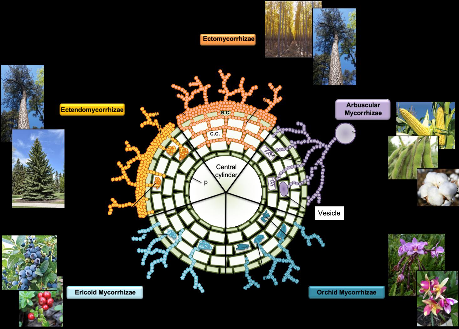 Chart of mycorrhizal fungi types