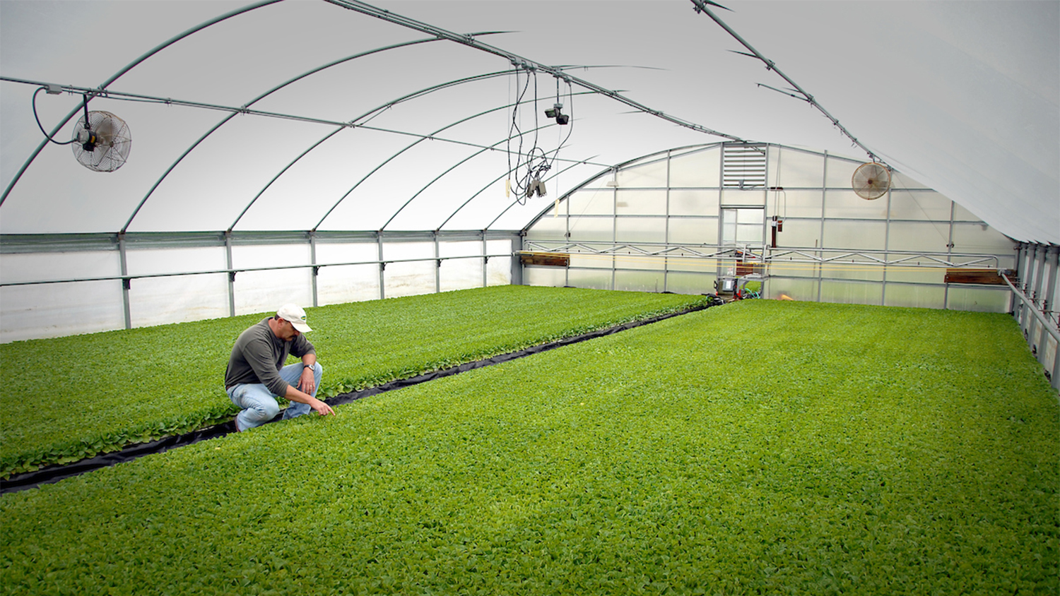 man checking tobacco plant seedlings in NC greenhouse