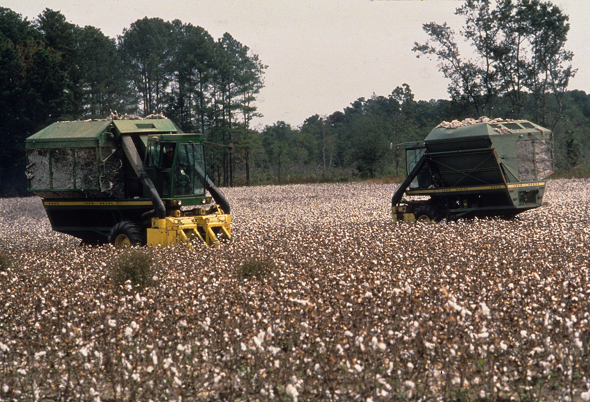 Combines harvest a field of cotton