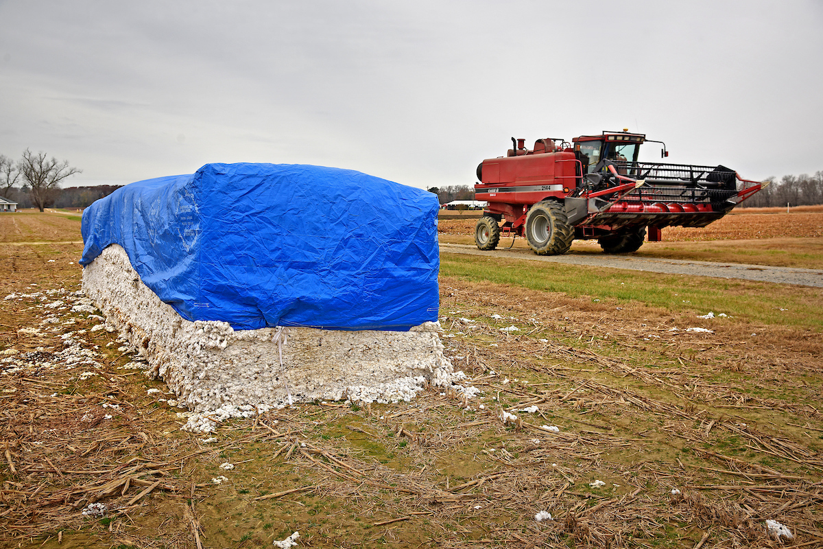 A blue tarp covers a bale of harvested cotton