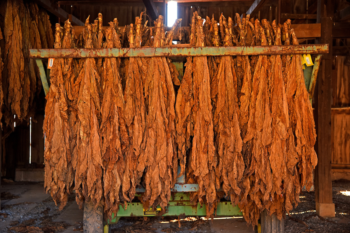 Tobacco bundles curing on a stick