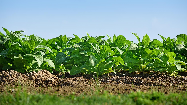 Field of tobacco plants