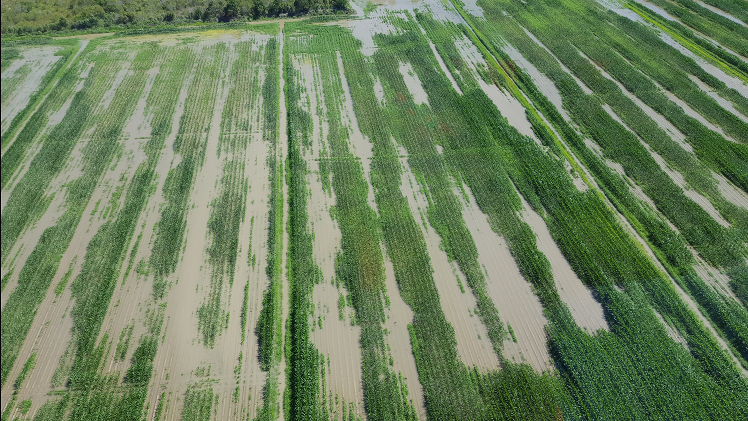 aerial view of a flooded corn field