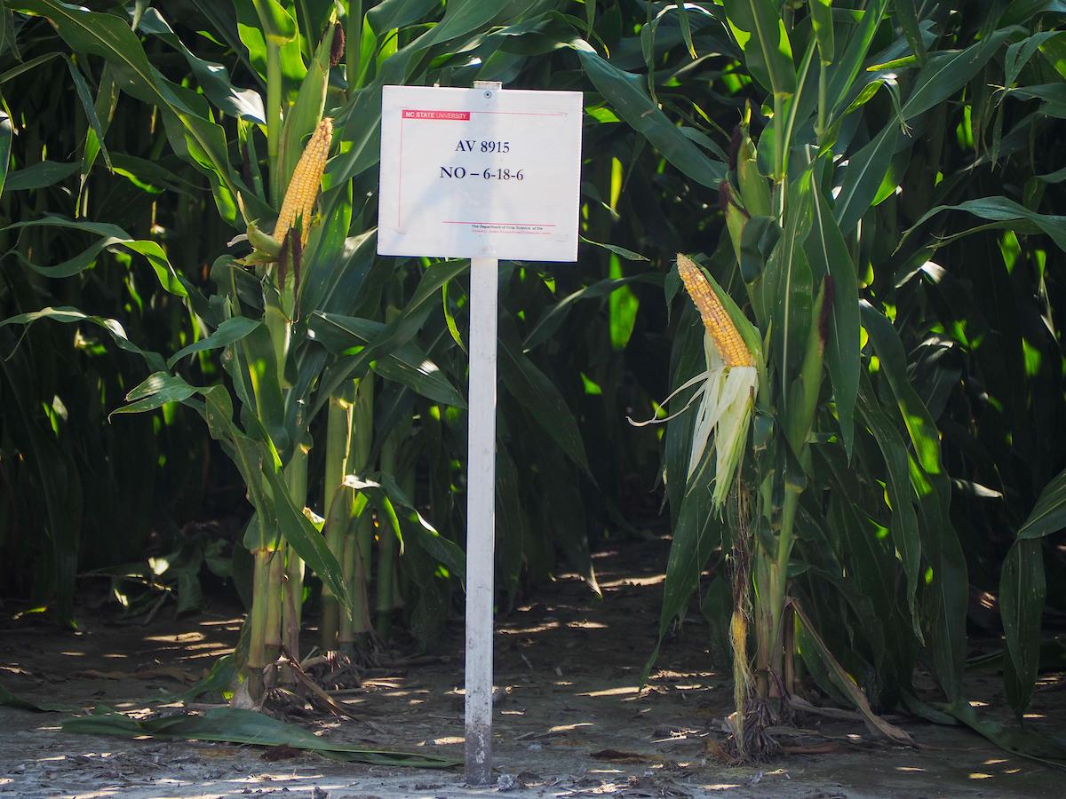 corn growing in a test field