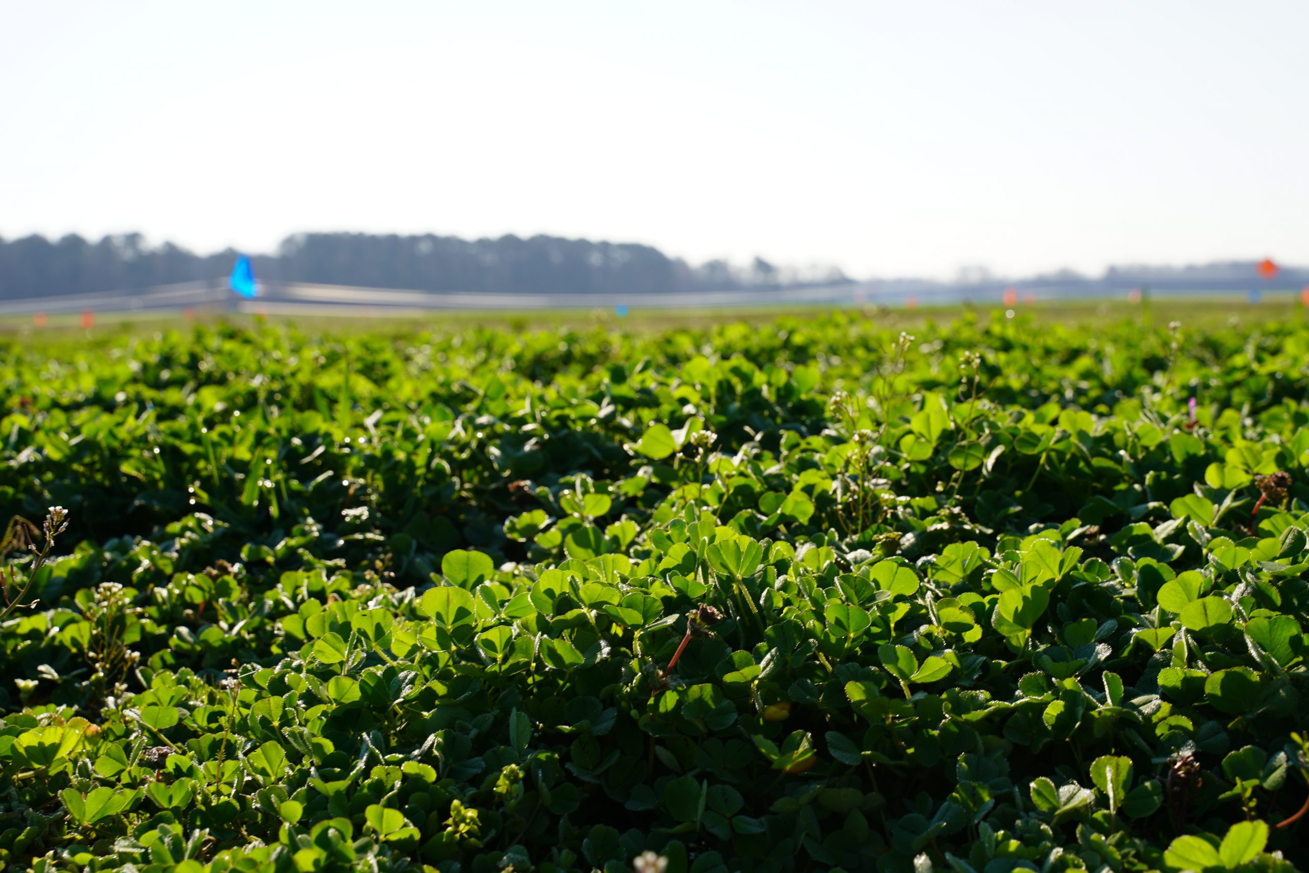 clover cover crop in the field