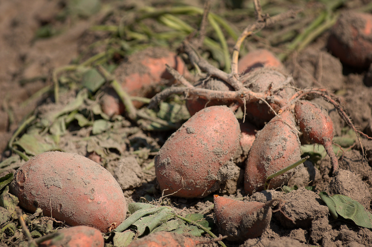 newly harvested sweet potatoes on the soil surface