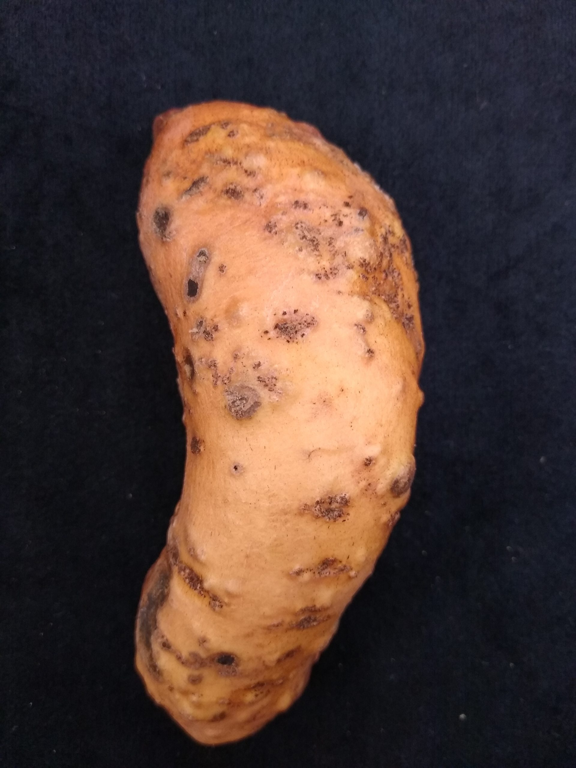 Nematode damage on a sweetpotato