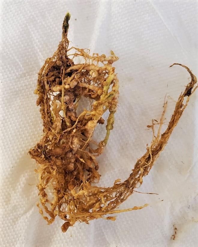 Nematode damage on soybean plant roots.