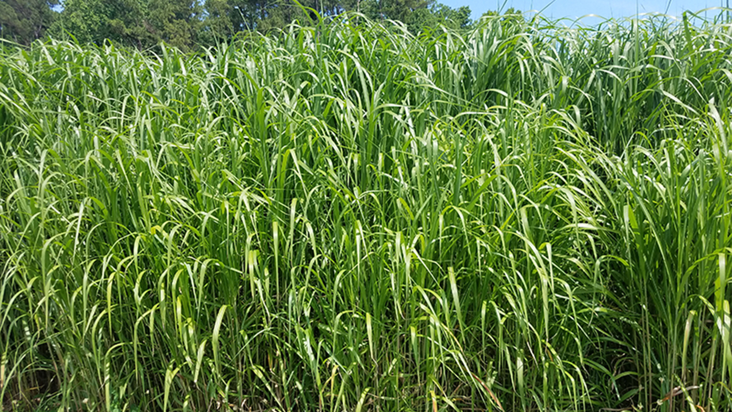 giant miscanthus grass growing in a field