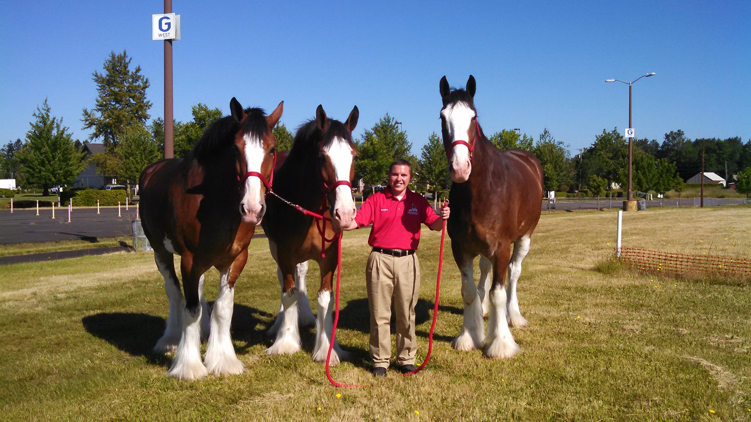 Brandon Glover with Clydesdales