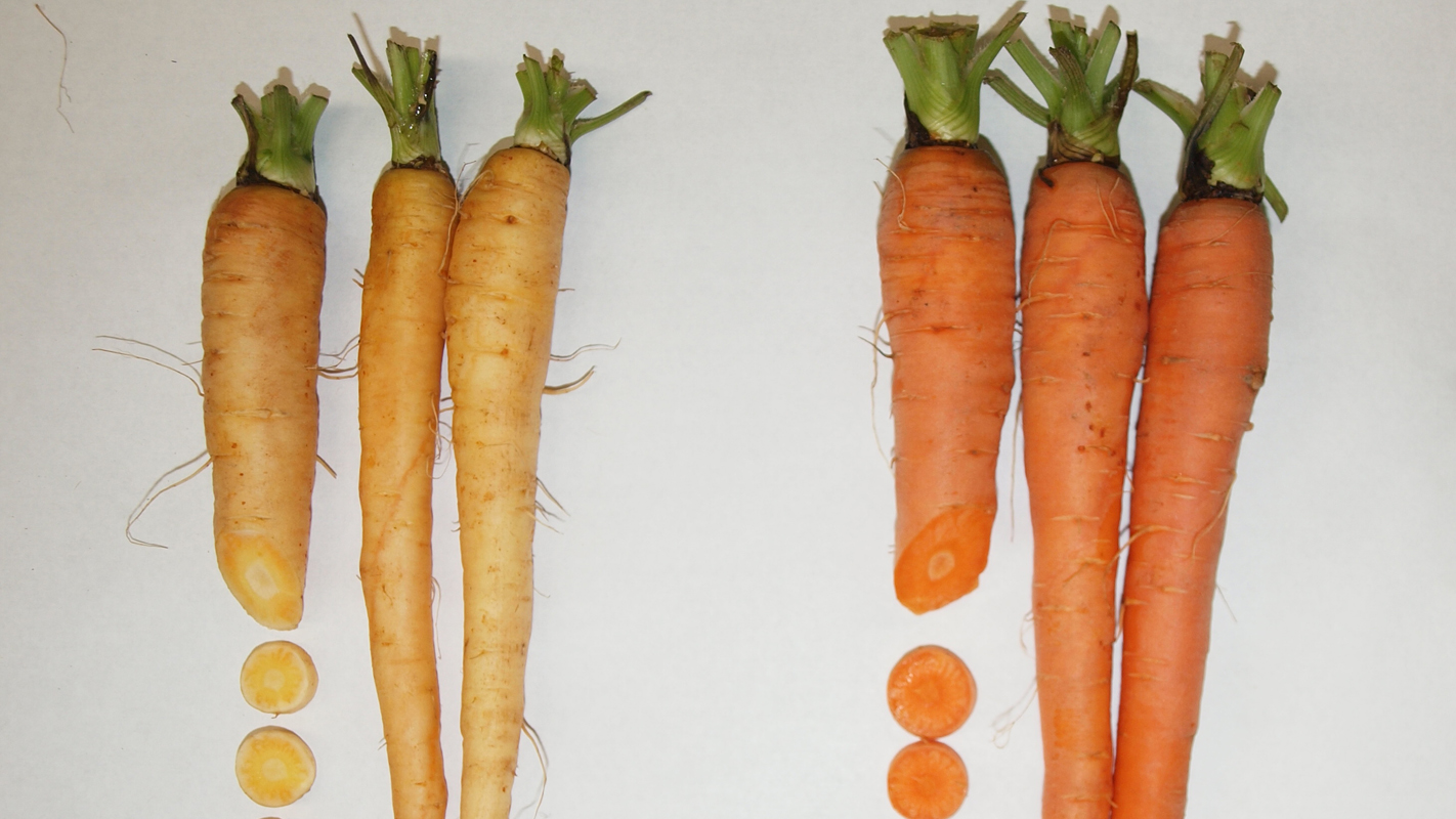 The carrot genome sequence sheds light on beneficial carotenoid accumulation in light and dark orange carrots. Photo courtesy of Massimo Iorizzo.