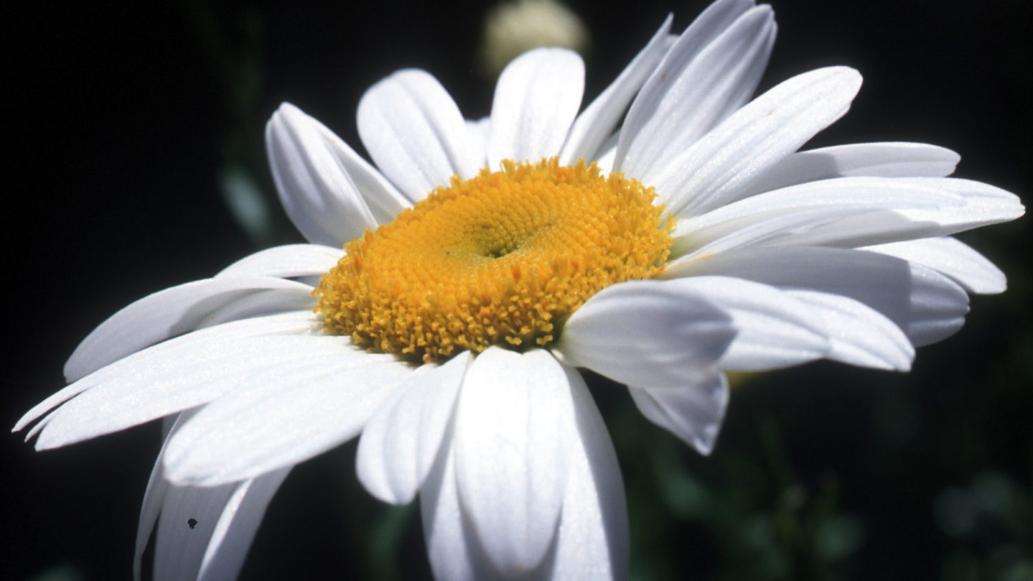 Close up photo of a daisy