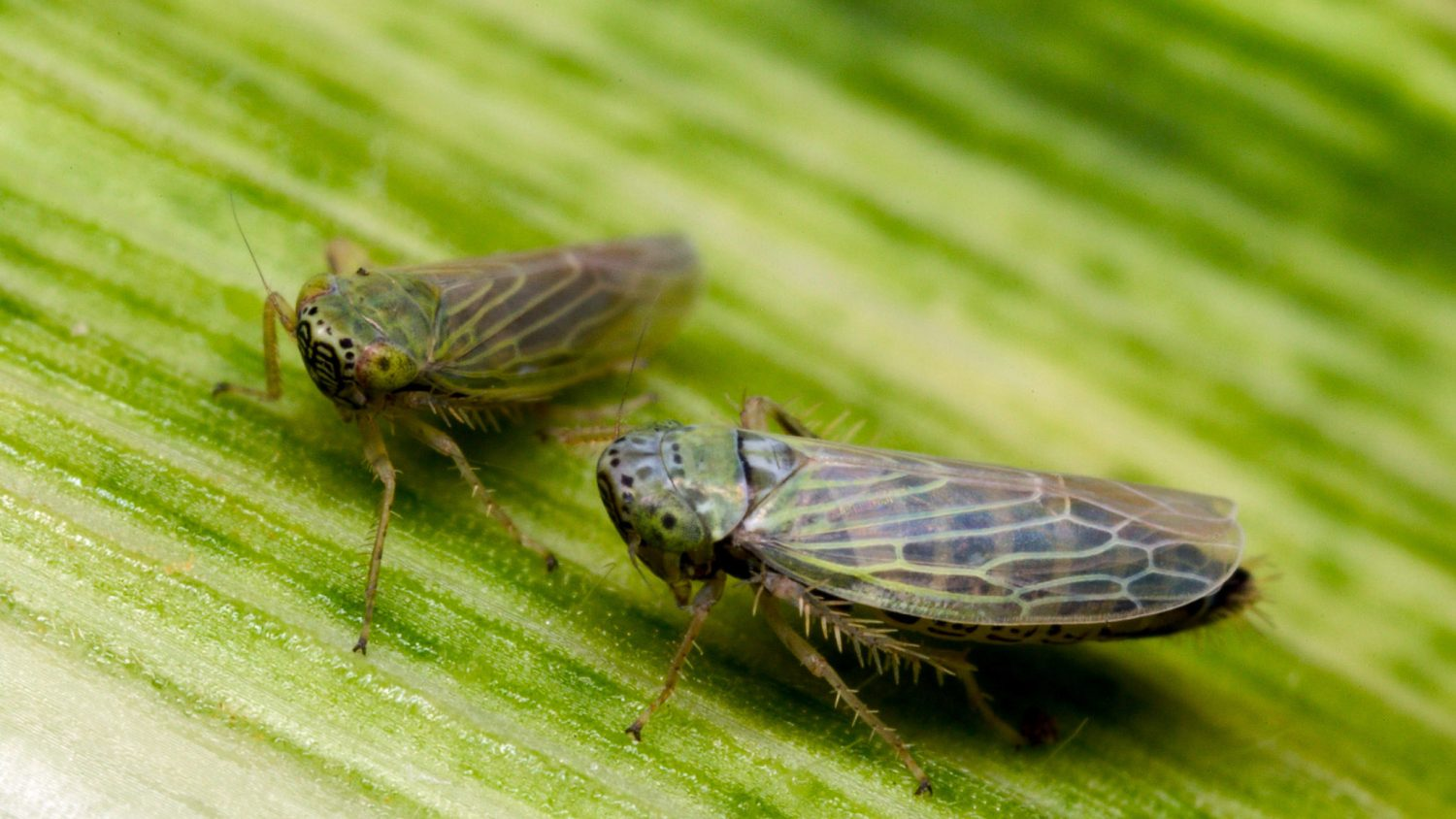 Leafhoppers on corn