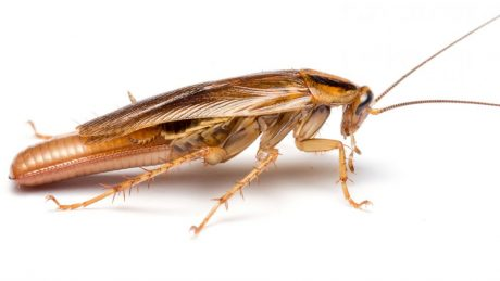 A female German cockroach. A new paper compares cockroach and termite genomes to find clues to the evolution of sociality. Photo courtesy of Matt Bertone.