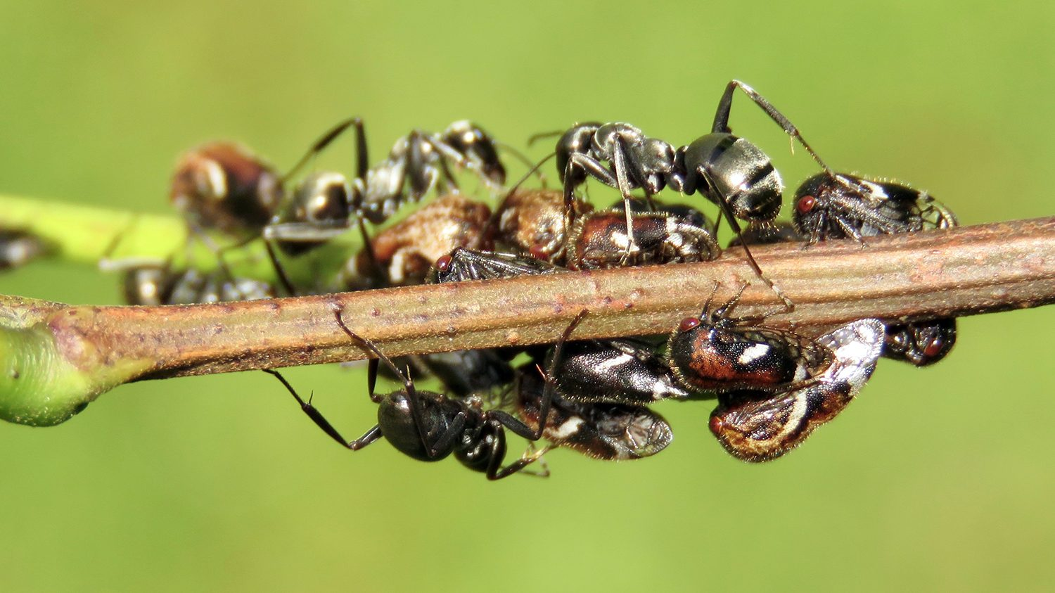 Ants collecting honeydew on a plant