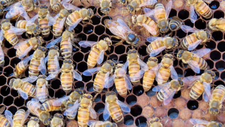 Honey bees on hive frame (Image - Clyde Sorenson)